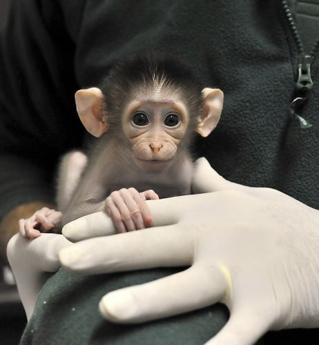 With a face this cute, it's hard to believe white-naped mangabey monkies are an endangered species.