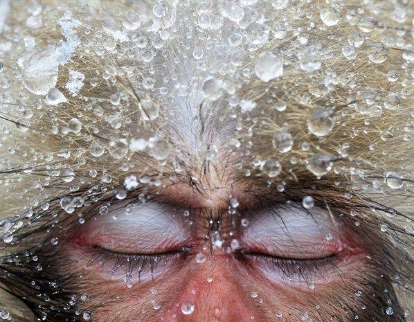 Un macaque japonais s'endort dans une piscine d'eau chaude (© Jasper Doest/Veolia Environnement Wildlife Photographer of the Year 2012)