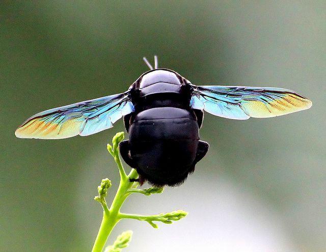 Carpenter Bee black (genus xylocopa)