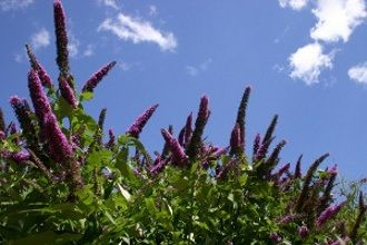 Butterfly Bush Care and Maintenance