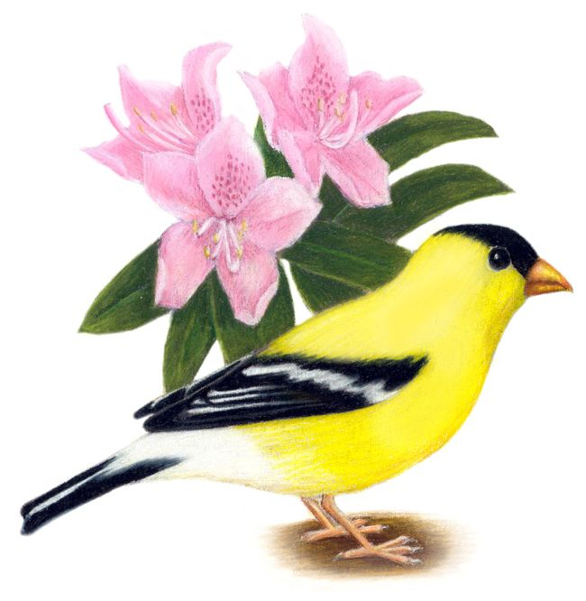 Washington State Bird | Washington State Bird and Flower: American Goldfinch / Spinus tristis ...
