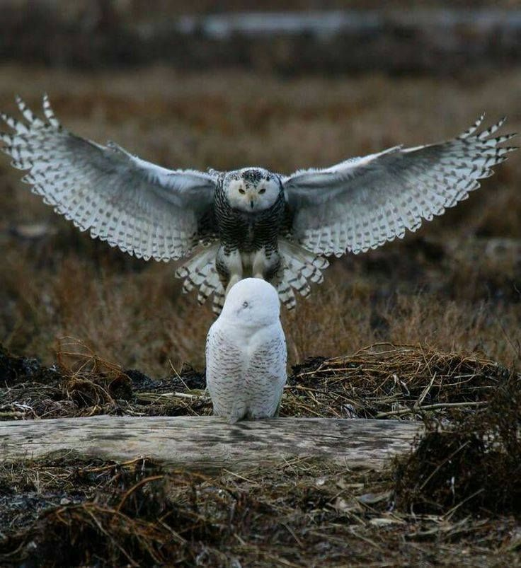 A wonderful picture of snowy owls. Source unknown