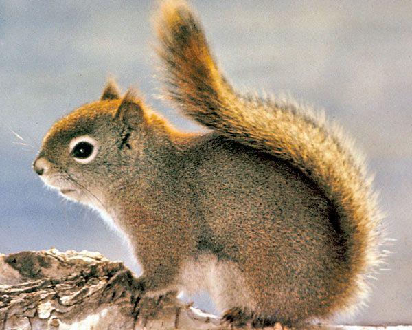 england's red squirrel | Photo: American Red Squirrel, Tamiasciurus hudsonicus.