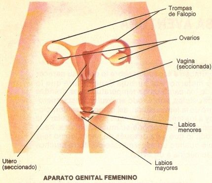 aparato reproductor femenino 1