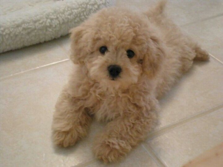 Lhasa-poo (Lhasa apso / poodle cross). My childhood dog was a Lhasa poo... I miss her more than I can express.