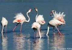 Flamingos στη λιμνοθάλασσα. 27/09/2016.