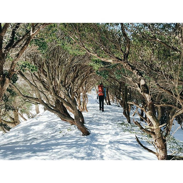 【yumi_hutte】さんのInstagramをピンしています。 《* 入道ヶ岳、馬酔木のトンネル冬バージョン。 雪が積もってるぶん木が低くて、こ……腰が⚡ でもこの光景、トトロの道みたいで好きだなぁ。 ・ ・ ・ #ユミユルハイ #アセビ #馬酔木 #馬酔木のトンネル  #入道ヶ岳 #鈴鹿 #登山 #山歩き #ハイキング #雪山登山 #雪山 #アウトドア #hike #冬 #三重県 #森 #山 #雪景色 #となりのトトロ #トトロ》