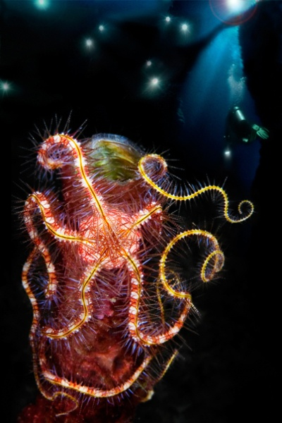 Brittle Star and diver. Such a beautiful and mysterious creature!