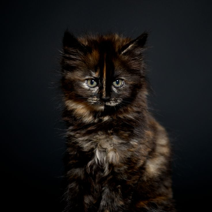 Photo by Pernille Westh | Cymric kitten. The Cymric is a semi-short-haired variety of the Manx breed - some are tailless · Get my 7 FREE basic photography tips - you need to know! http://pw5383.wixsite.com/free-photo-tips