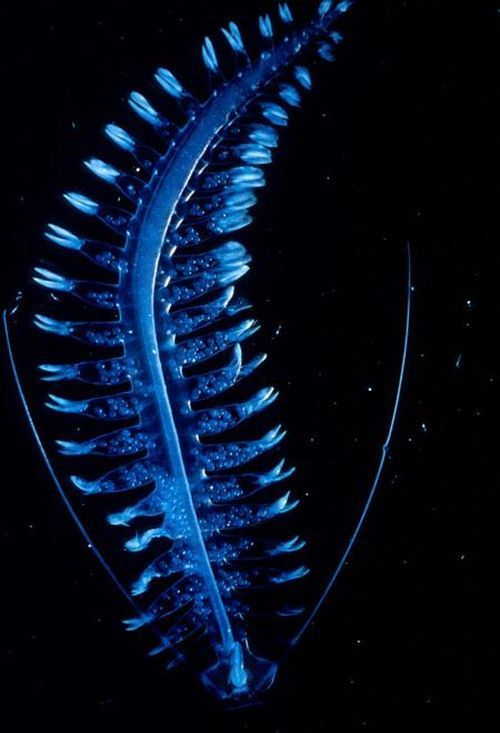 Bioluminescent ocean animals