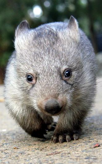 ~~Wombat | short-legged, muscular quadrupedal marsupials that are native to Australia and are approximately 3 ft. long, with short, stubby tails | Taronga Zoo~~
