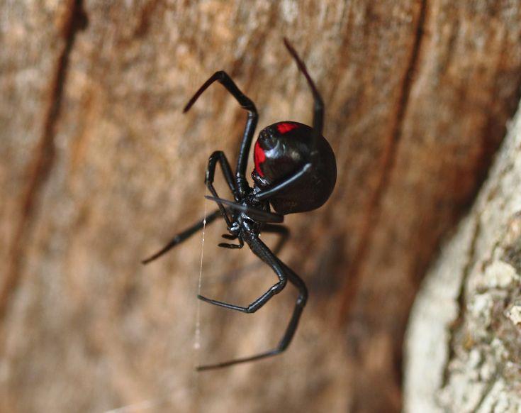 What S The World S Deadliest Spider Nature The Biggest Smallest Fastest Strangest Oldest Spider Black Widow Spider Black Widow