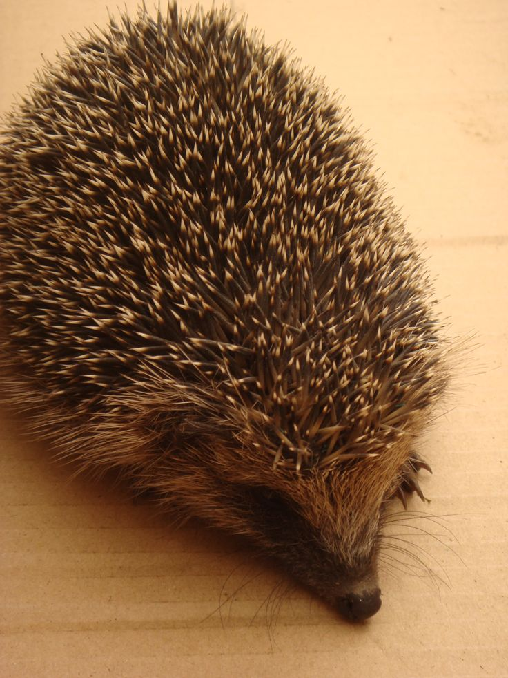 Hedgehog found in the polytunnel.  Picture taken by Abbey Kaos.