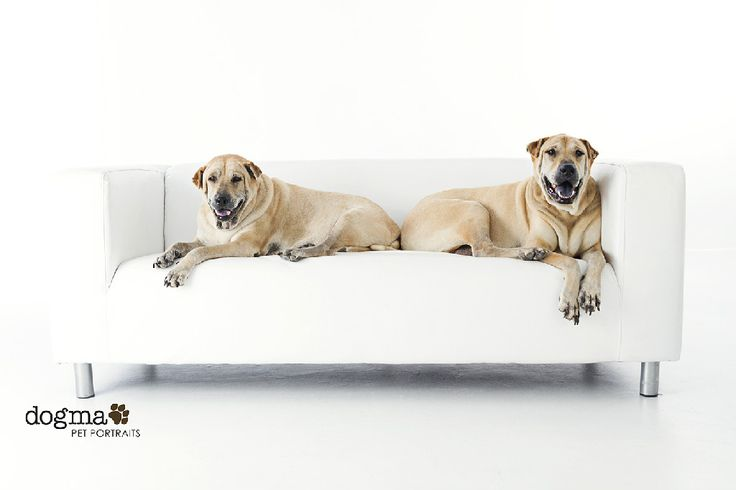 Shar Pei Dog Rescue California