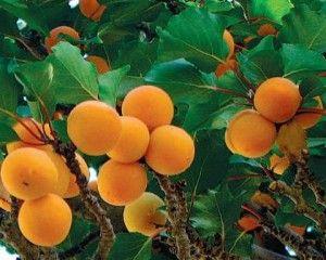 Vanzare pomi fructiferi   StiriAgricole.ro