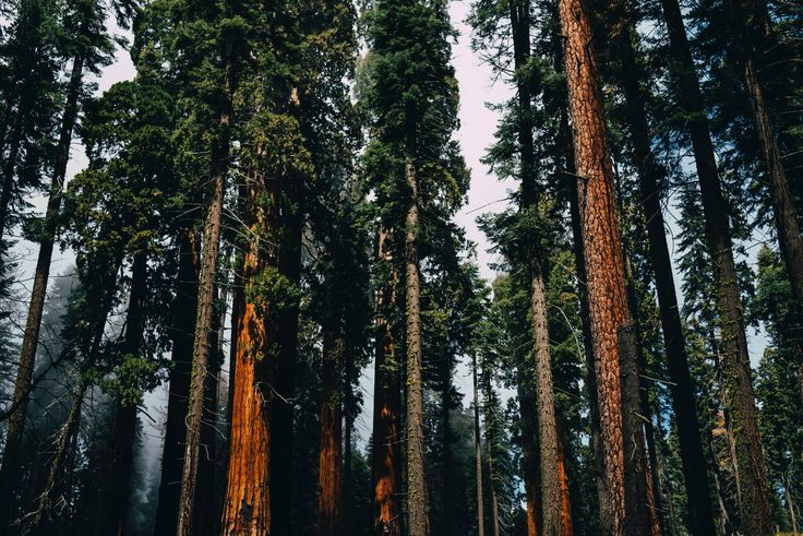 [#HD Wallpaper] Coniferous trees in a misty forest in Sequoia National Park - Sequoia National Park, Yosemite National Park, Rae Lakes Loop Trailhead, Kings Canyon National Park, Giant Sequoia National Monument, #LastingAdventures #GiantSequoia #NationalPark - Photo by Susan Yin @syinq (unsplash) - Follow #extremegentleman for more pics like this!
