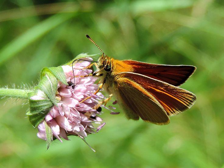 Karłątek ryska l (Thymelicus lineola)