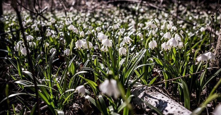 Ha valaki szeretné a természetben magába szívni az első D-vitamin adagokat, és közben még szép virágokat is nézegetne, ebben a 3 budapesti arborétumban már megteheti.