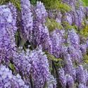 Wisteria Sinensis Prolific,Chinese Wisteria Prolific,Fragrant Vine, Fragrant Shrub, Purple Flowers, Lavender Flowers