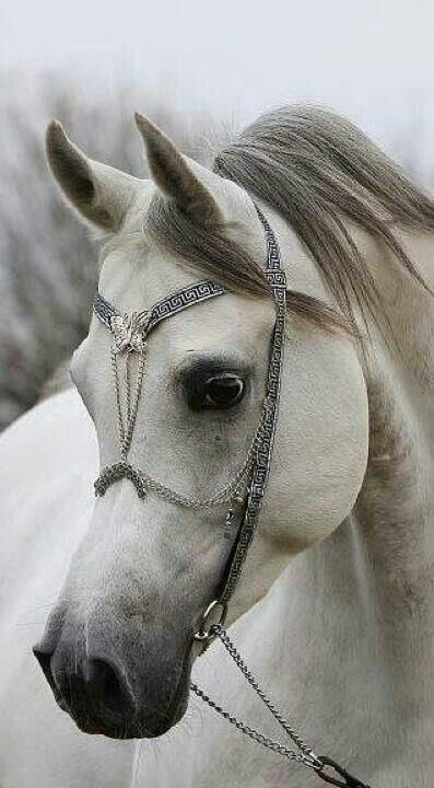 Magnifique petit cheval arabe ! Beautiful head and just look at that head jewelry...