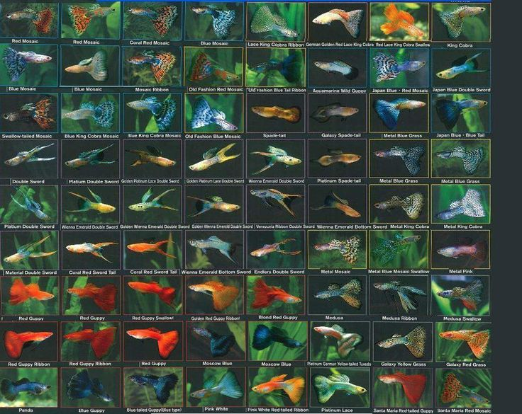 50 Guppy Varieties