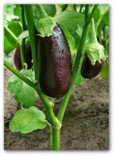 Growing Eggplant, How to Grow Eggplant, Growing Eggplants at Home.