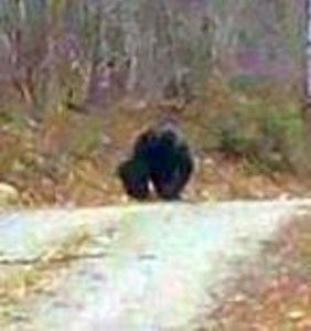 Maine Sasquatch in the middle of the road drinking from a mud puddle.