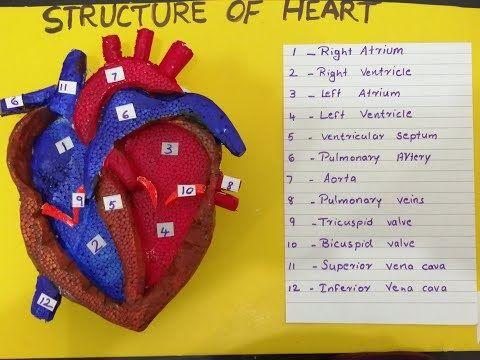 (91) Human Heart 3D Model School science project model