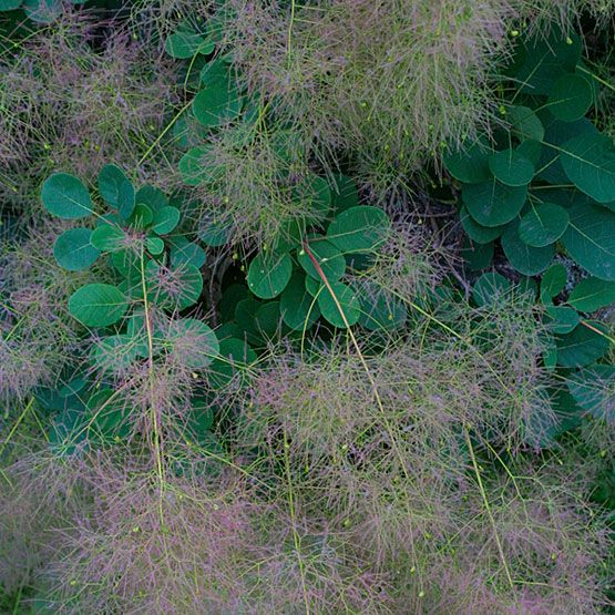 Cotinus coggygria (Smoke tree, Venetian sumac) - Fine Gardening Plant Guide | This bushy shrub or small tree has generated many notable cultivars, all of which add great textural qualities to the landscape. It has 6-inch-long frothy plumes that appear after the flowers and give a long-lasting, smoky haze to branch tips. Its green leaves are smooth and rounded and produce brilliant fall color