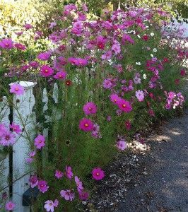 Cheap Gardening  ~ beautiful flowers don't have to cost a fortune.  I love cosmos!