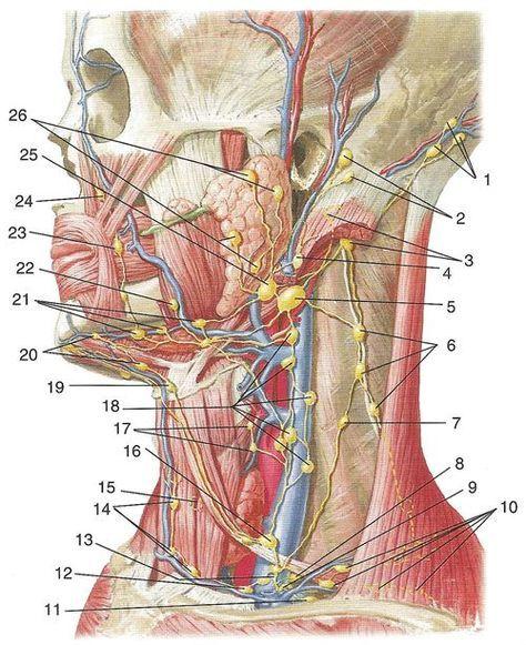 Лимфатические узлы и сосуды головы и шеи