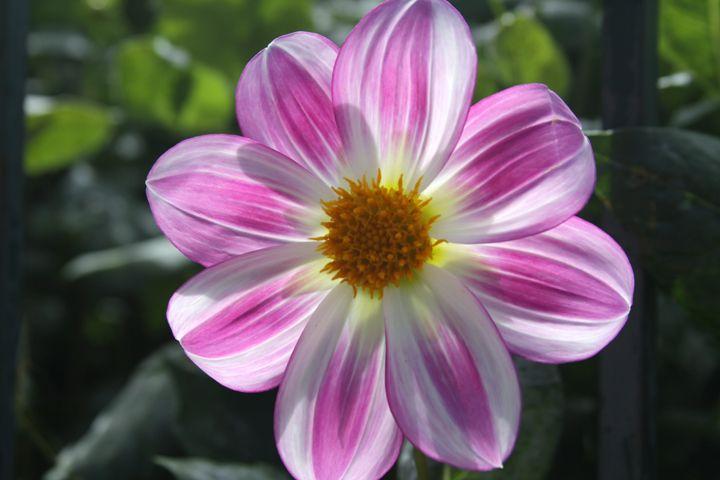 Dahlia 'Apopa Sky'  Love Dahlias? We've created an extended guide--come check it out! www.gardentribe.com/dahlias