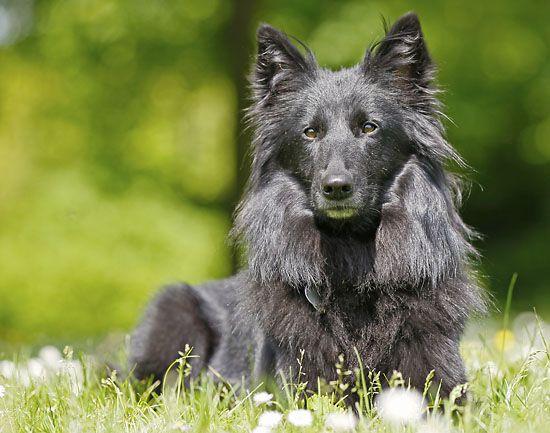 Belgischer Schäferhund Groenendael