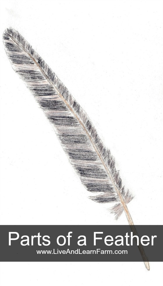 Parts of a Feather lesson and Free 3 part cards printable.  I hope you enjoy them!!  ~Trish