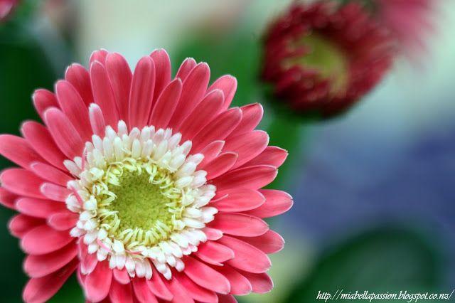 Mia Bella Passions: Garvinea - My New Garden Plant Crush...