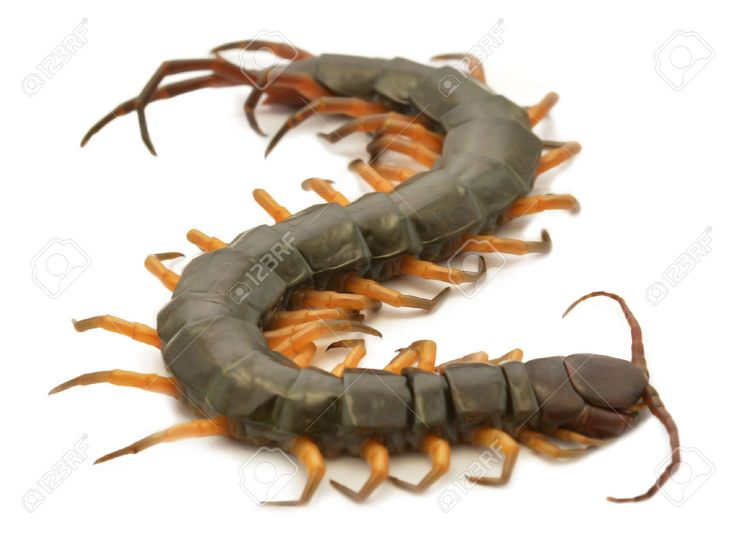 46 best Cartoon Centipede Tattoo images on Pinterest | Centipedes ...