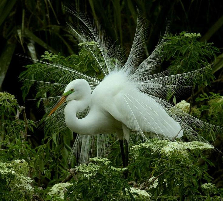 White Egret Displaying by Myrna Bradshaw - White Egret Displaying ...