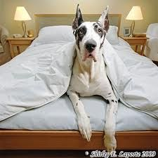 great dane!: Great Danes, Gentle Giant, Animals, Dogs, Bed, Pets, Greatdanes, Friend