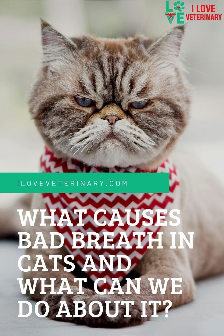 What Causes Bad Breath In Cats And What Can We Do About It I Love Veterinary In 2020 Veterinary Vet Student Bad Breath