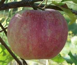 Wolf River apple - the apples are so big you can almost make a pie out of one.  I have a Wolf River apple tree.