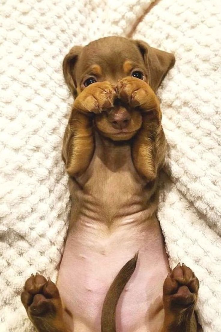 A Shy Dachshund Dog Puppy In 2020 Cute Baby Animals Funny Animals Baby Animals