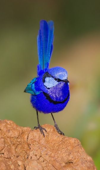 The splendid 'Fairy Wren' (Malurus splendens), also known simply as the 'Splendid Wren' or more colloquially in Western Australia as the 'Blue Wren', is a passerine bird of the Maluridae family. It is found across much of the Australian continent.