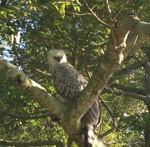 Crowned Eagle on the golf course at Zimbali! KZN
