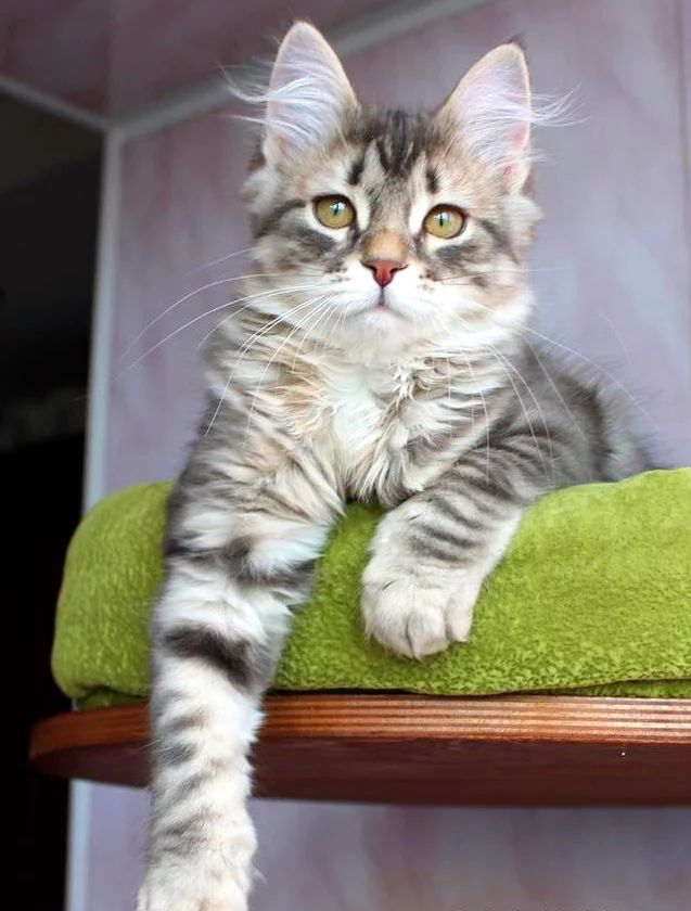 Hypoallergenic Cats. Siberian Cat Breeders. Forest Dreams Cattery based in UK. Rehoming kittens around Europe.