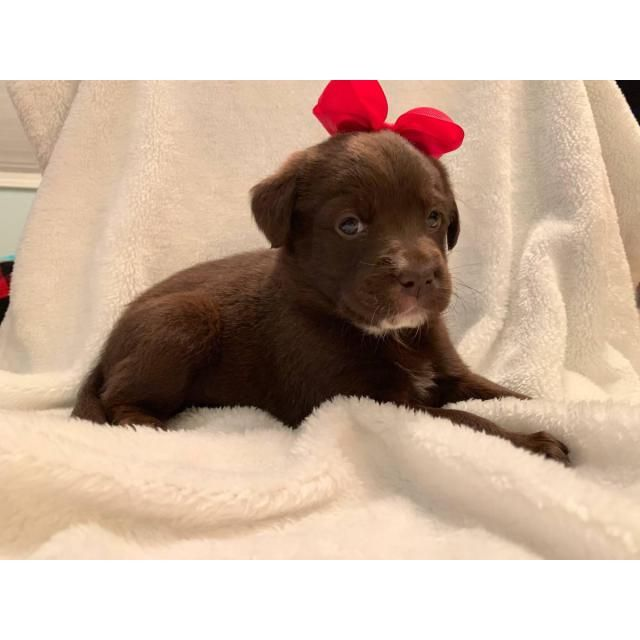 Labrador Retriever Johnson City I Own A Female And Male Chocolate Lab Puppies For Sale They Are About 6 Weeks Old Lab Puppies Labrador Puppy Puppies For Sale