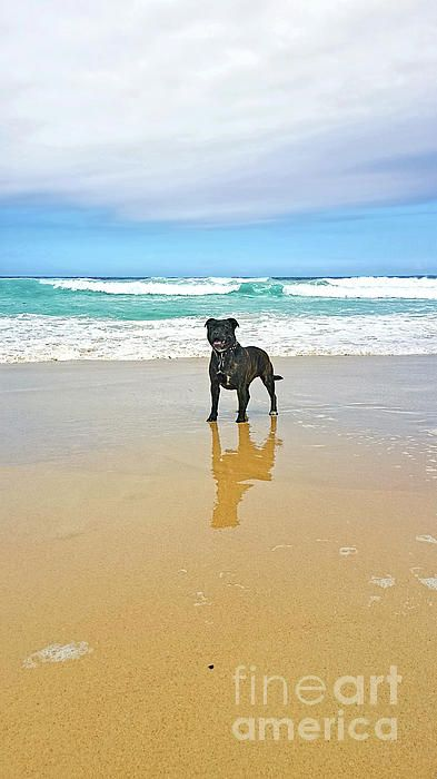 #Beach #Dog and #Reflection by #Kaye_Menner #Photography Quality Prints Cards Products at: http://kaye-menner.pixels.com/featured/beach-dog-and-reflection-by-kaye-menner-kaye-menner.html