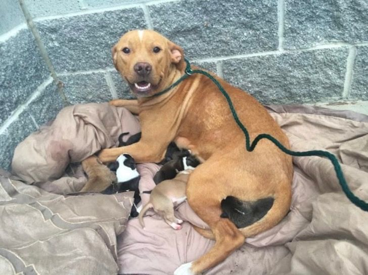 Abandonaron a esta Pitbull junto a sus 10 cachorros recién nacidos. Mira lo que hizo para protegerlos