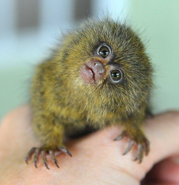 Ninita the Pygmy Marmoset Likes to Eat, Climb, Play and Be Combed With a Toothbrush