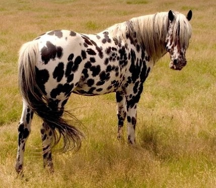 A foundation leopard Appaloosa stallion.