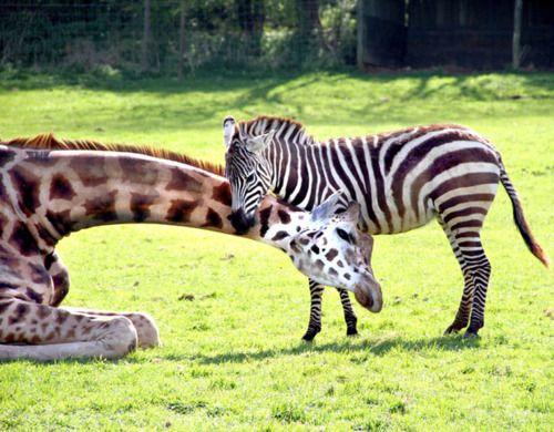 Giraffe and zebra loveBaby Zebra, Best Friends, Close Friends, Pets Photos, Odd Couples, The Zoos, Giraffes, Zebras, Animal